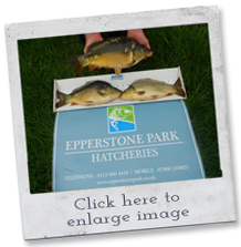 coarse fish for sale - carp