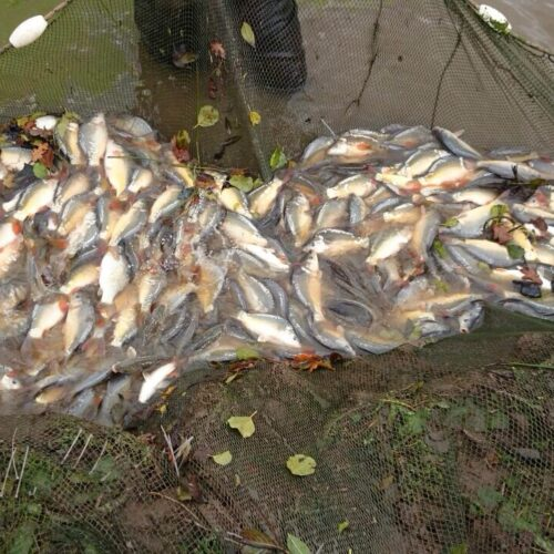 2nd year Carp in mint condition