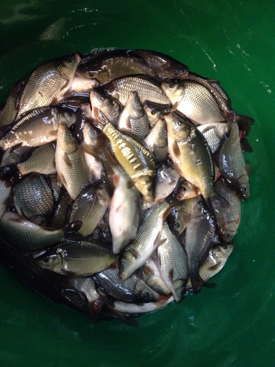 Fish Breeds - Epperstone Park Hatcheries