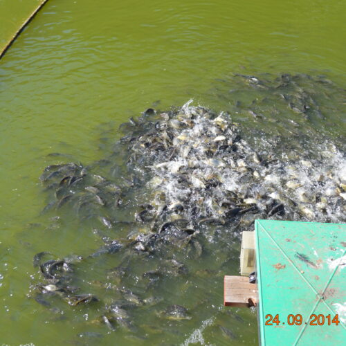 1st year Carp enjoying the sun and food