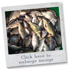 fish breeds - carp