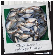 fish breeds - crucian