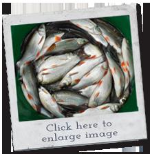 fish breeds - ide